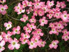 5 Flowering PINK DOGWOOD Cornus TREE Seeds * Comb S/H + Free Gift