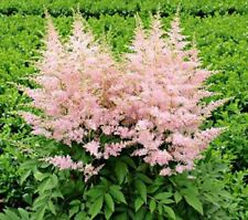 50 Light Pink Astilbe Seeds Bunter Shade Perennial Garden Flower Bloom Seed 719