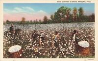 Postcard Field of Cotton in Bloom Memphis Tennessee