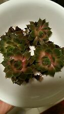 2 HENS AND CHICKS Sempervivum plant cuttings - Commander Hay