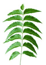 INDIAN NEEM LEAVES 30 CT STEMS FRESH PICKED BY ORDER NEEM PATRA LEAF