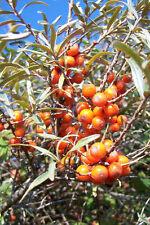 3 Sea Buckthorn Plants 1-2ft Edible Coastal Hedging,Hippophae Rhamnoides 40-60cm