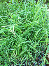 LEMON GRASS  - MOSQUITO GRASS - HERB - 1 PLANT - LIVE PLANT - QUART POT