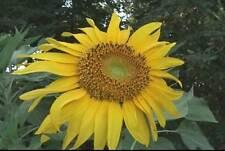 Sunflower annuus Titan 10 seeds