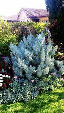 Artemisia arborescens (Wormwood Tree) x 1 plant.