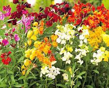 New listing English Wallflower Seeds - Mix