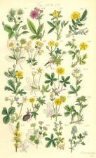 WILD FLOWERS. Hautboy Strawberry Cinque-foil Silver-weed Tormentil. SOWERBY 1890