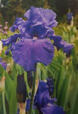 """Tall Bearded Iris """"Shore Patrol"""""""