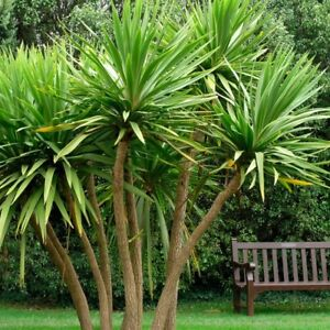Semi Hardy Cordyline australis Palm Garden Outdoor Evergreen, Plant in 9cm Pot