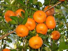 3x Organic 'Honey Murcott' Mandarin Tree Cuttings Cut To Order