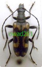 Evodinus borealis (Gyllenhal, 1827) Poland