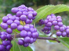 BEAUTY BERRY (Callicarpa) -- 24+ seeds. Birds love the purple berries!