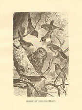 Group Of Song Warblers, Birds, Natural Habitat, Vintage 1885 Antique Art Print