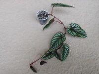 Cissus Discolor / Rex Begonia Vine