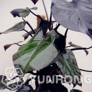 Philodendron Erubescens 100 PCS Seeds Bonsai 10 Kinds Multi Colors Plants Garden