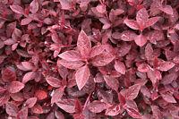 die Blätter und Blüten in Butter gedünstet sind eine Leckerei - der Rote Meier.