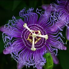 10 semillas Passiflora incarnata-Parchita-comestible-maypop - Ranker-Seeds