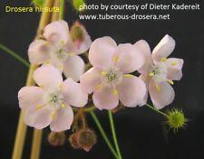 Drosera hirsuta RED (ADULT tuber) - VERY RARE carnivorous plant, tuberous sundew
