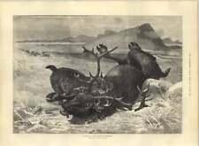 1885 Dibujo Noruego Lynx matando a Reno por Ludvig Beckman