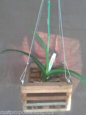 """Vanda, Orchid, Choose from available stock and Mounted in 6"""" Wood Vanda Basket"""