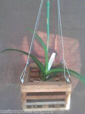 """Vanda, Ascocenda Orchid, Brighton Fuchsia X V. Katsura in 6"""" Wood Vanda Basket"""