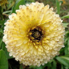 Calendula Officinalis Citric Flower Seeds from Ukraine