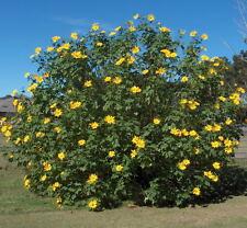 25 + Gorgeous Tithonia Diversifolia Mexican Marigold,Perennial Sunflower Sweet!