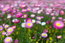 PINK AND WHITE EVERLASTING DAISIES (Rhodanthe chlorocephala) 50 seeds
