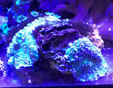 New listing live coral colony wysiwyg Purple And Lime Green Hairy Tonga Mushrooms. Colony