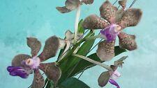 Orchid Vanda rusru Special Exotic Tropical Plant