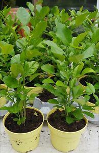 Kaffir lime trees
