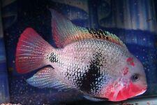 3 Black Belt Cichlid Live Freshwater Aquarium Fish