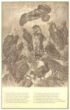 EAGLE. Gold Pomarine Oriental Dwarf Wedge war Harpy Screech vocifer Osprey 1907