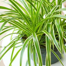 1 x Chlorophytum Variegatum | 20-30cm Potted Plant | Indoor Plants for Sale