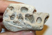 RARE FLORIDA FOSSILIZED DUGONG 2 PIECE JAW SECTION fossil tooth teeth MIOCENE