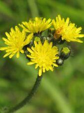New listing 25 Yellow Hawkweed Wildflower seeds ~ Organic ~ Hieracium caespitosum