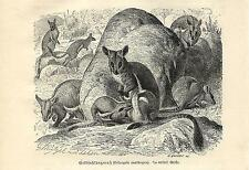 Stampa antica CANGURO WALLABY DELLE ROCCE KANGAROO 1891 Old antique print