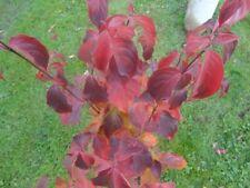 Cornus kousa chinensis - Chinesischer Blumenhartriegel - Blütenhartriegel