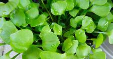 200 Samen Winterportulak Portulak Postelein Claytonia perfoliata Tellerkraut
