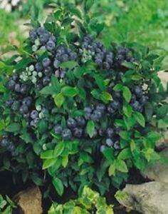 Blueberry Bush Plant - 1 Gallon