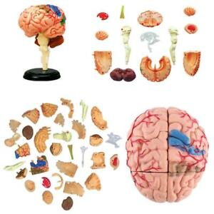 4D Disassembled Anatomical Human Brain Model Anatomy X1N9 Teaching L5H4 U6D5