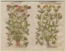 JOHN GERARD BOTANICA MATTHIOLI 1597 TRIFOGLIO TREFOIL TRIFOLIUM