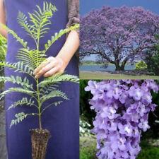 Jacaranda Brazilian Rose Tree Live Plant Mimosifolia Purple Flowering Outdoor