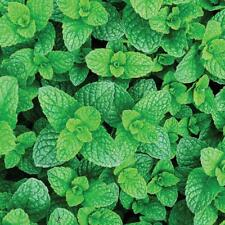 ORGANIC Garden Mint Spear Spearmint Lambs Mint Root Cutting for Planting