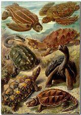 "ERNST HAECKEL CANVAS PRINT Art Nouveau Turtles 32""X 24"" Chelonia"