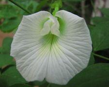WHITE BUTTERFLY PEA (CLITORIA TERNATEA) 10+ SEEDS,VERY VERY RARE..