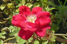 ROSA RUBIGINOSA -SWEET BRIAR ROSE. GOOD FOR FRAGRANT & THICK HEDGES. 25 SEEDS
