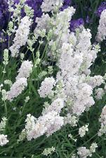 20+  LAVANDULA , ELLAGANCE WHITE SNOW,  PERENNIAL FRAGRANT LAVENDER FLOWER SEEDS