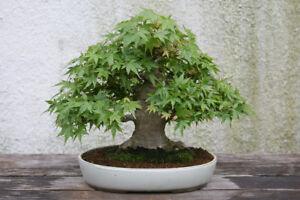 Japanese Maple Tree Seeds (Acer palmatum), 25 seeds