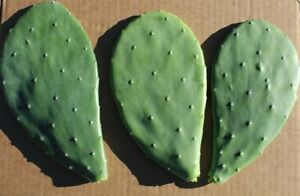 Opuntia ficus-indica - prickly pear one pad  - for rooting or tortoise food
